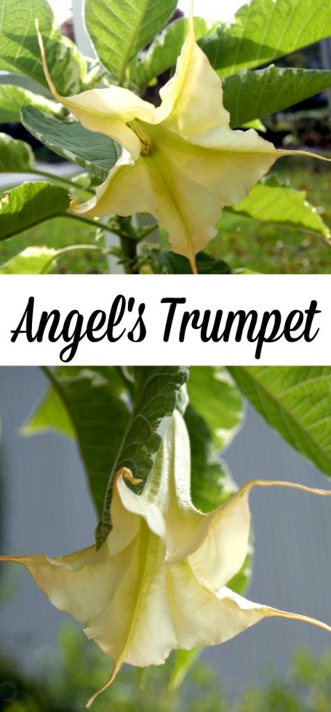Tropical hanging trumpet-shaped flowers of Angel's Trumpet plant is fragrant and beautiful. But, be careful as all of the parts of the plant are poisonous.