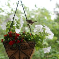 Nesting Wrens and Daddy's Favorite Nursery Rhyme