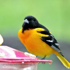 Baltimore Oriole Surprise Visit to the Hummingbird Feeder