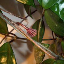 Hoya Plant in Bloom