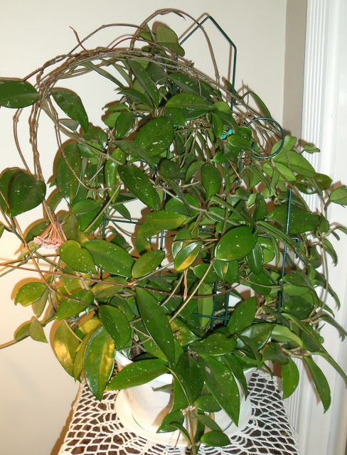 Tips for growing and caring for your hoya houseplant with closeup photos showing the blooming process as the tiny buds change and develop and become beautiful and fragrant flowers.