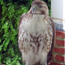 Coopers Hawk and Other Backyard Birds
