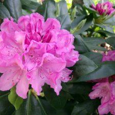 Rejuvenated Rhododendron after Severe prunning