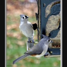 Backyard Birds, Tufted Titmouse, Blue Jay and Sparrows