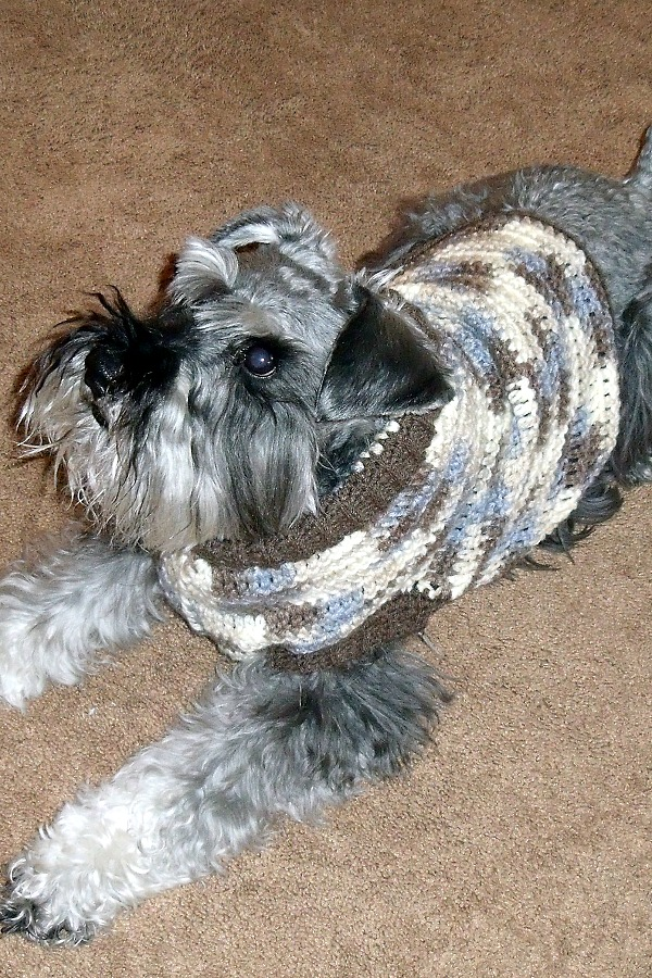 Keeping my miniature schnauzer puppy warm and cozy with a crocheted dog sweater. Make one in your favorite color with this how-to pattern.