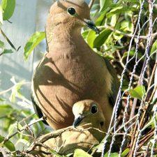 Nesting Mourning Doves