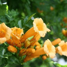Trumpet Vine and Hummingbirds