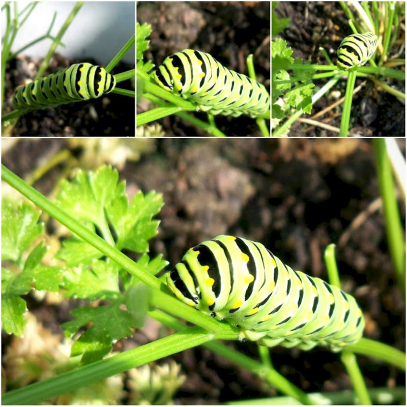 Black swallowtail caterpillars on parsley plant