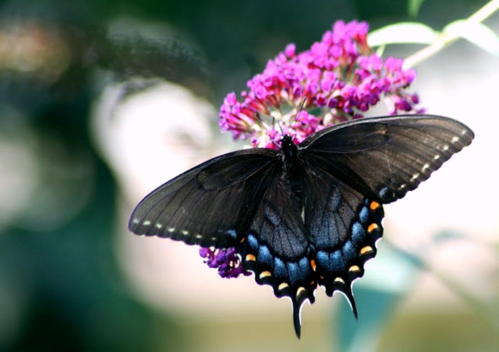 black swallowtail on buddleia plant