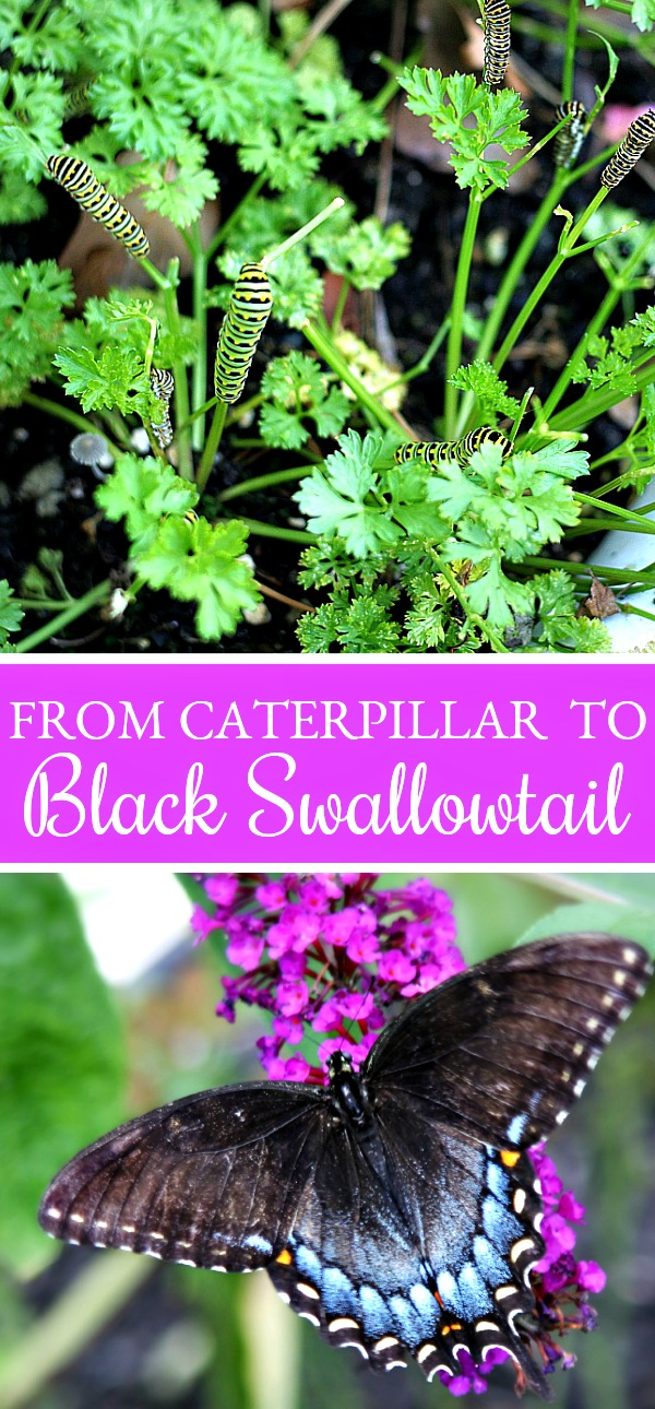 black swallowtail caterpillars on parsley plant