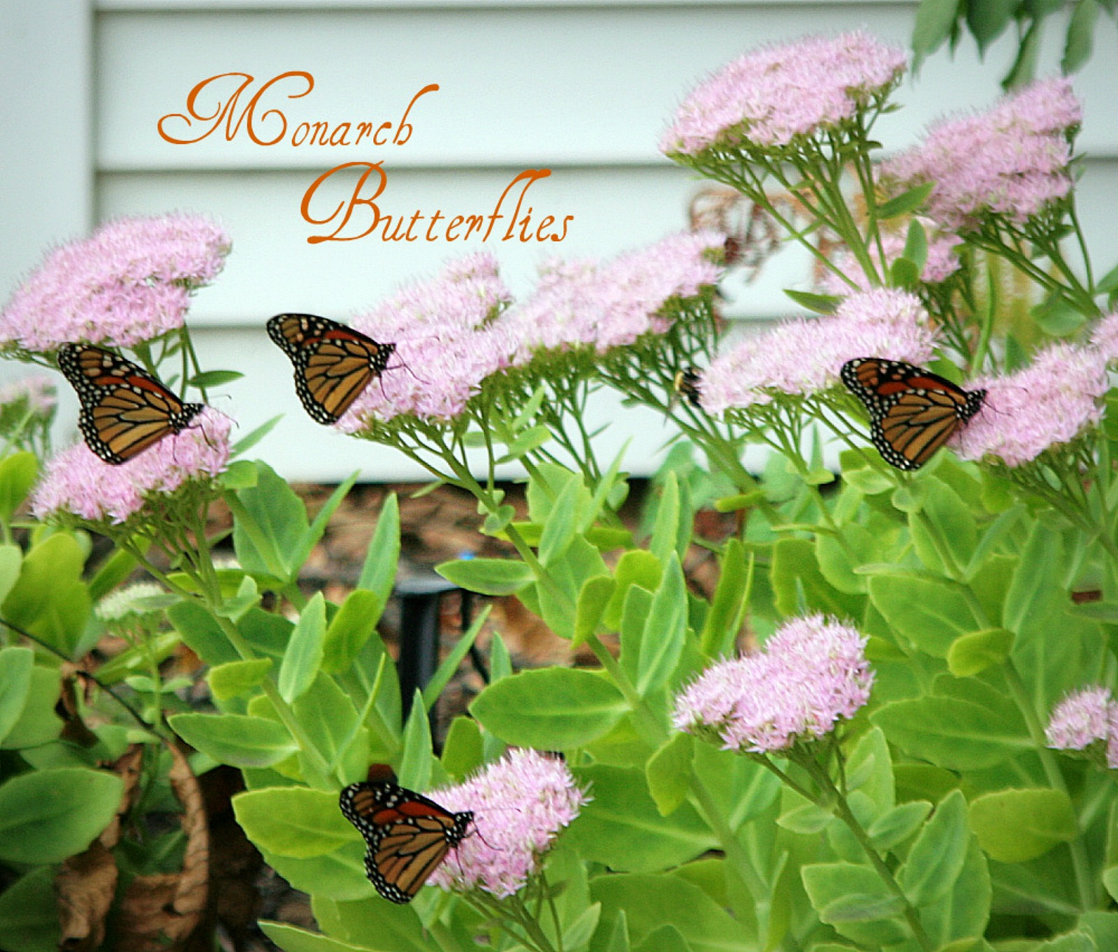 Monarch butterflies visit blooming perennial sedum plant, fueling up before their annual journey, flying thousands of miles to overwintering in Mexico.