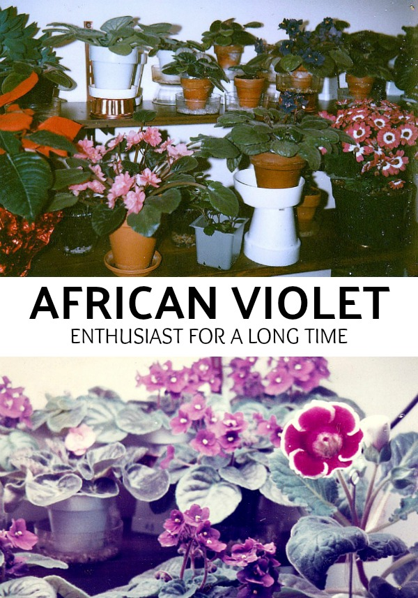 An old-time favorite, African violets are one of the prettiest flowering houseplants. With blooms in colors from white to pink, lavender and dark purple, they put on quite a show. Grow in a bright window for lots of lovely flowers.