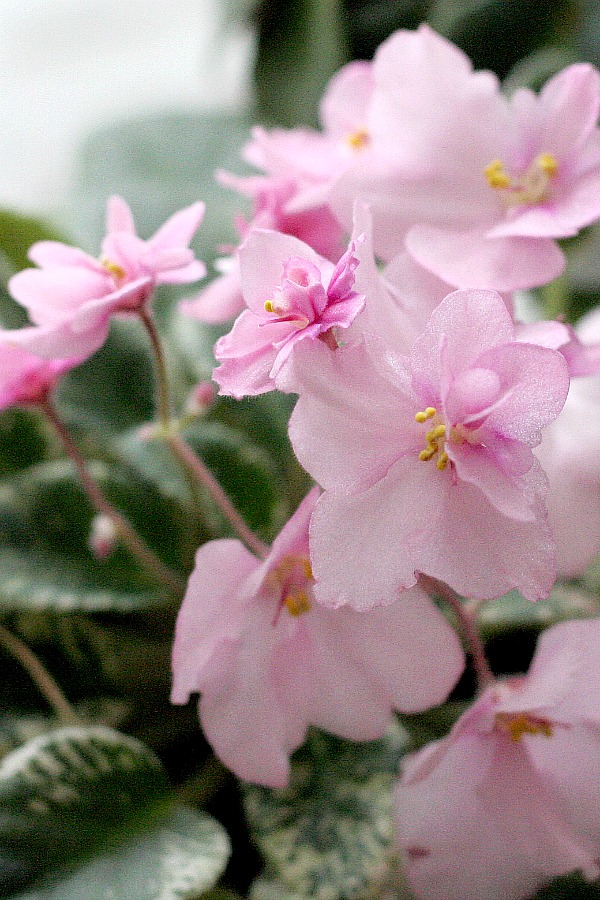 I fell in love with African violets the first time I bought one. They flower freely in a place that receives bright light producing flowers ranging from white, pink, lavender and purple.