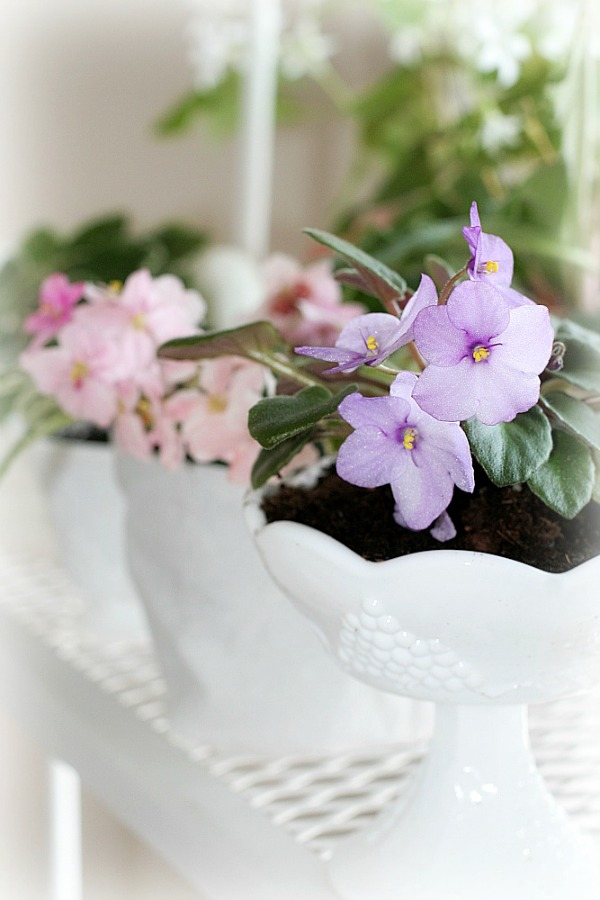 Growing African violets is easy in a bright window location bringing their beauty and sweetness to your home. Once you have one plant you are sure to add more to your collection.