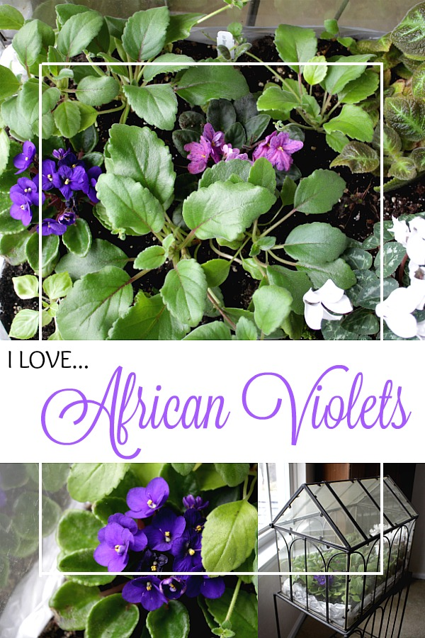 African violets have always held a special place in my heart. They are just so pretty and bloom easily. Easy to grow in a bright facing window and look sweet on a table or windowsill.