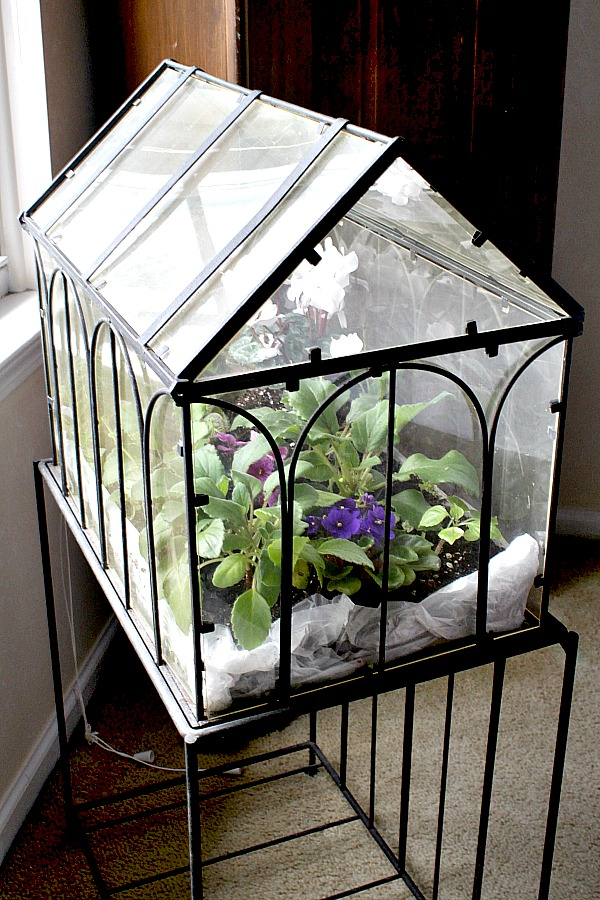 Although not necessary, you can grow miniature African violets in a terrarium culture. Kept in a bright location, they bloom frequently.