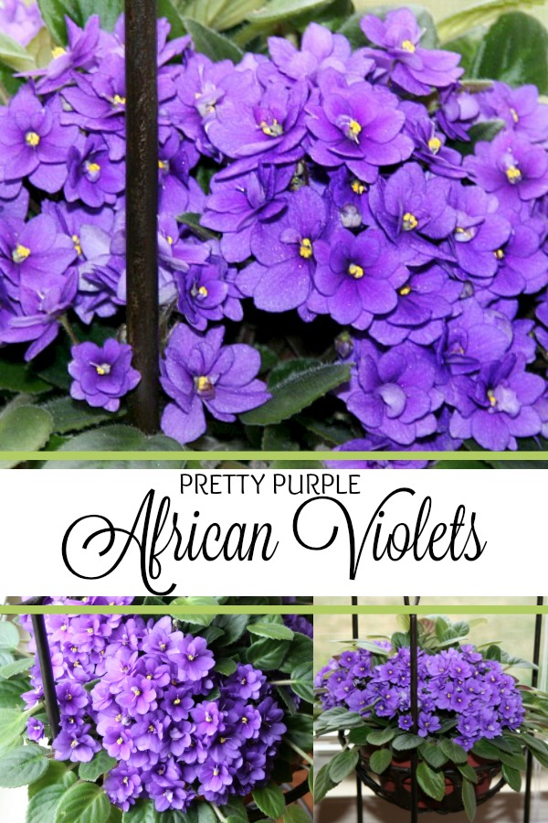 The beloved African violet is a perennial favorite. In shades from white to pink and deep purple and many multi-color variations it isn't hard to fall in love with them.