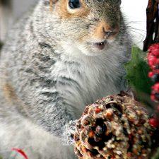 Squirrel Critter Invading Bird Feeder