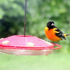 That's Not a Hummingbird it is a Baltimore Oriole
