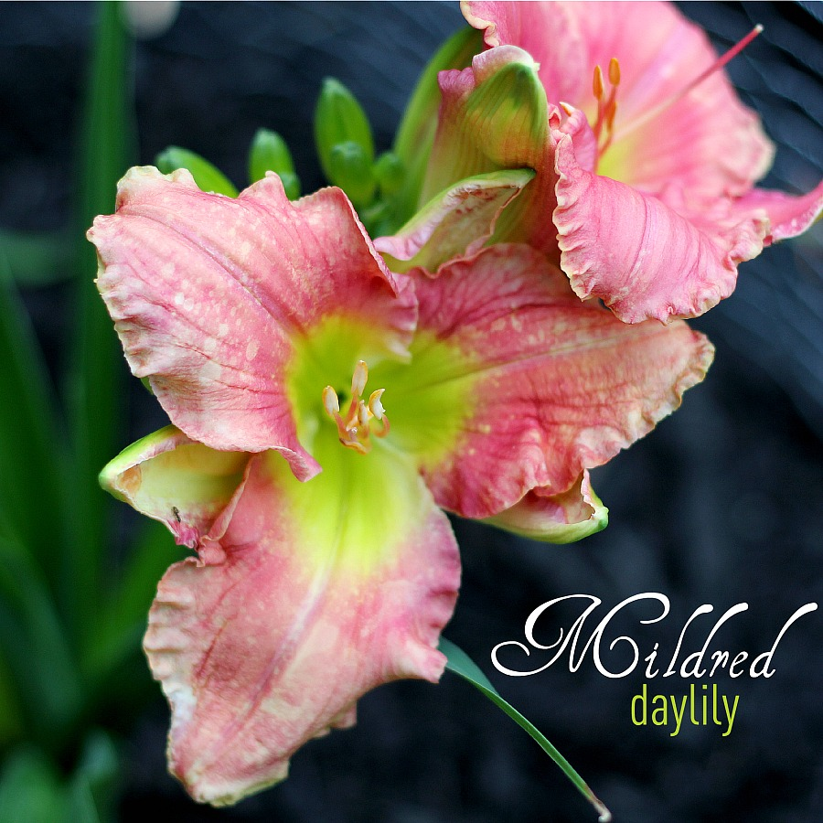 Mildred Daylily was a gift from a friend. The blossoms open to reveal the lovely pink, green andchartreusecolors as itblooms in my front garden and reminds me of herthoughtfulnessand our friendship each time I see it.