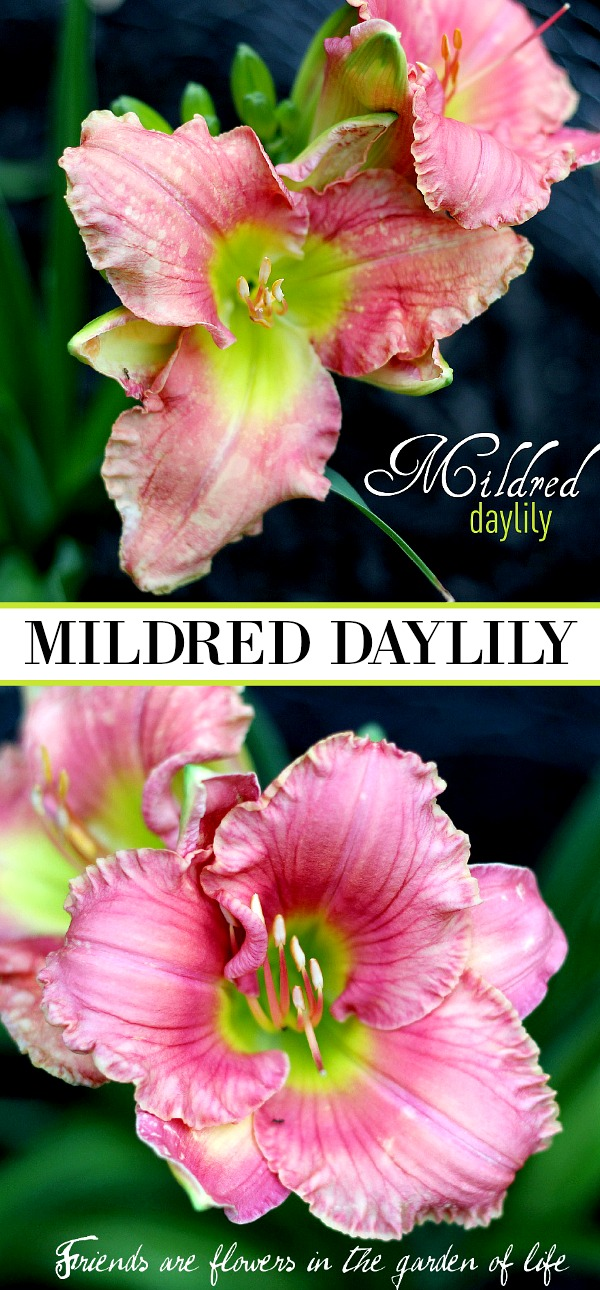 Mildred Daylily was a gift from a friend. The blossoms open to reveal the lovely pink, green and chartreuse colors as it blooms in my front garden and reminds me of her thoughtfulness and our friendship each time I see it.