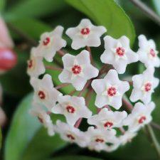 Blooming Hoya