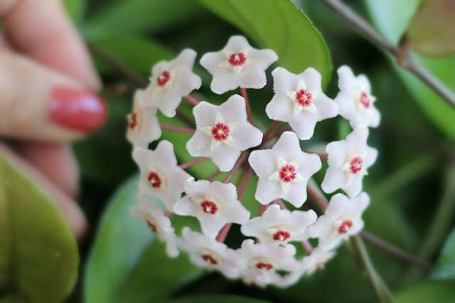 blooming hoya houseplant