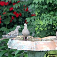 Mourning Doves and Cardinal at the Birdbath
