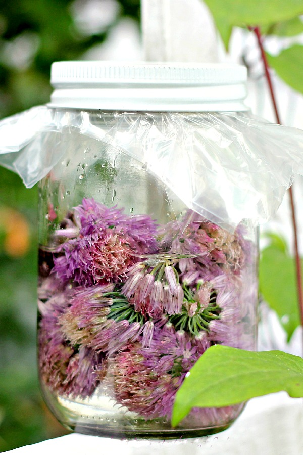 As the herb garden chives begin to bloom, gather the blossoms to make easy herbal Chive Blossom Vinegar with a delicate onion flavor. Use it when making salad dressings, marinades or whenever vinegar is an ingredient.