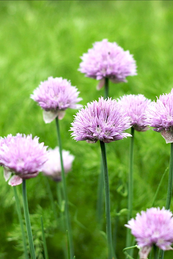 Chives are such a great addition to the herb garden. Requiring little attention, this hardy perennial is pretty, easy to grow and has many culinary uses.