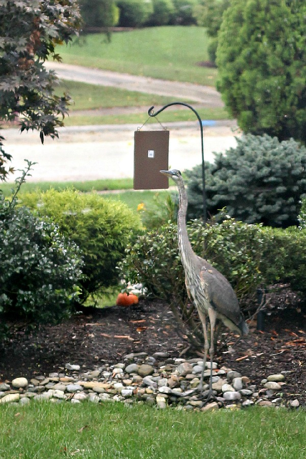 Blue Heron - gone. Yes, a blue heron bird showed up and when I took a look, all of the goldfish in my tiny pond were ~ GONE!
