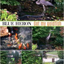 Blue Heron – gone