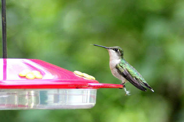 Fast and fascinating hummingbirds visiting the feeder for nectar entertain and delight as we watch their activity. Poem by Emily Dickinson and Robert Frost.