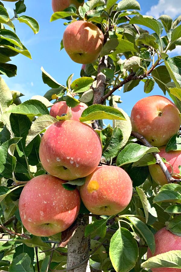Empire and Fuji apple picking Johnson's farm