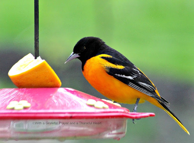 Beautiful orange and black Baltimore Oriole visits a hummingbird feeder in the yard during early spring. Hoping to entice them to stay.