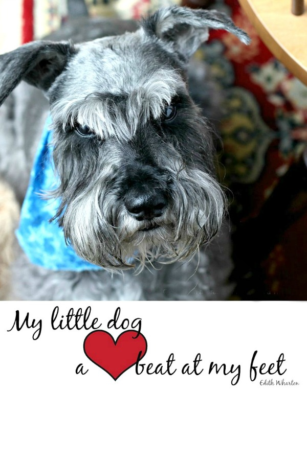 Do you have a sweet dog that fills your heart to overflowing? Heartfelt quotes as we celebrate the years with our schnauzer. Happy Birthday, Raider!