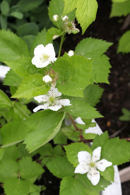 flowering raspberry bush.