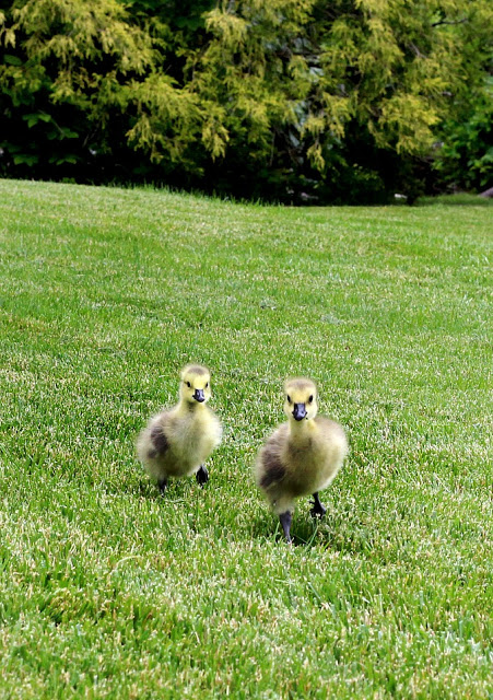 All Creatures Great and Small Gosling Cuteness Overload. Soft and fluffy baby geese are relocated to a local wildlife refuge.