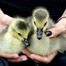 All Creatures Great and Small Gosling Cuteness Overload