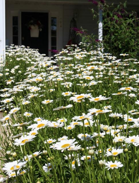 Shasta Daisies perennial flowers from division garden chores