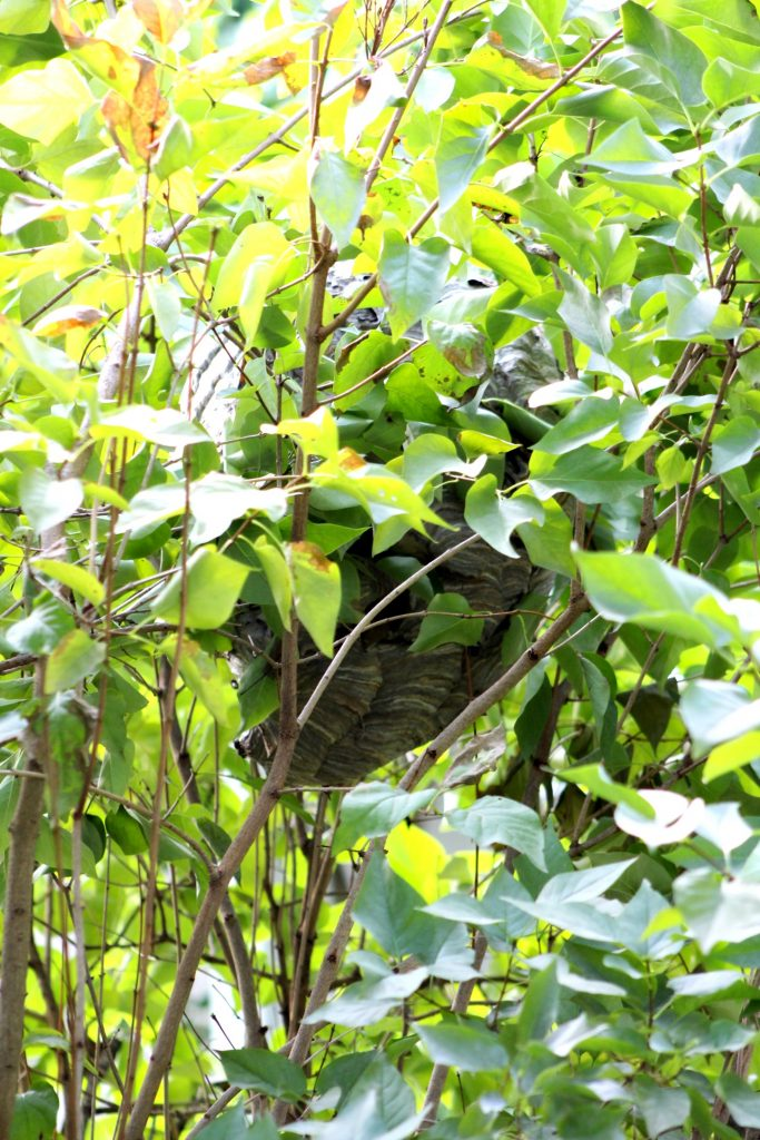 Finding a bald-faced hornets nest tucked into a lilac bush and deciding what to do with it. To leave it alone, to destroy it ourselves or call and exterminator.