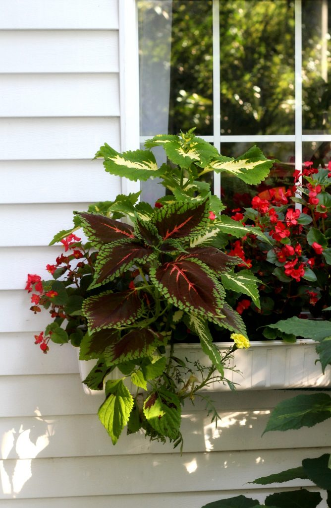 Flowering autumn flowers like, coleus, Morning Glory, Passion flower, Mandeville, hosta and trumpet vine shine in September. Time to begin early autumn garden chores.