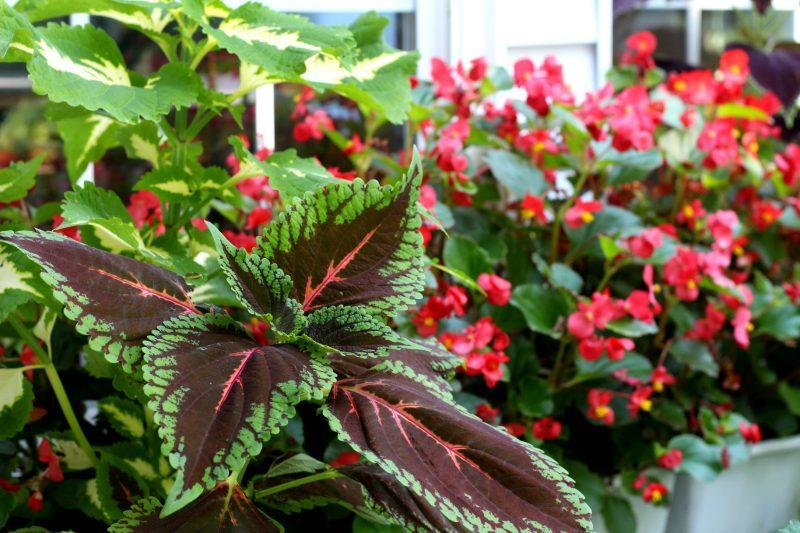 Flowering autumn flowers like, coleus, Morning Glory, Passion flower, Mandeville, hosta and trumpet vine shine in September. Time to begin autumn garden chores.