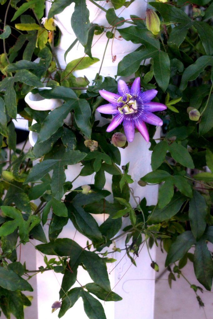 Passion flower vine growing on porch post. easy to propagate from stem cuttings.