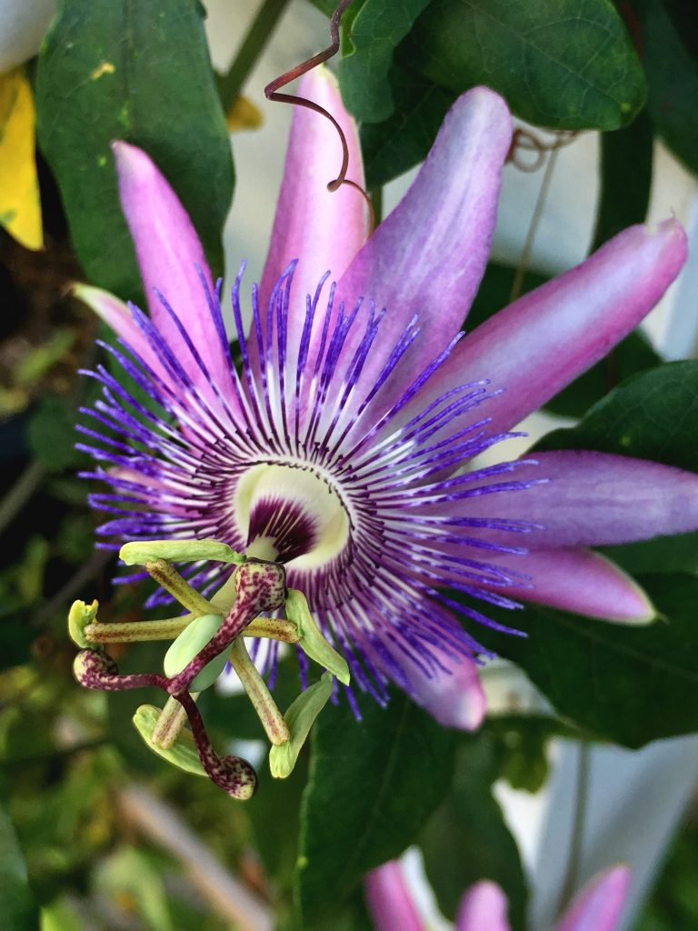 Beautiful purple passion flower vine blooms on porch post