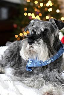 Raider our miniature schnauzer dog