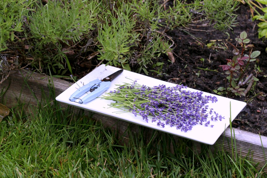 Oh, it is that  time of year again when sweet lavender is blooming in the garden. I have just one plant yet it gives me plenty of flower buds from each stem. Lavender is a fragrant and lovely herb. Learn growing tips, how to harvest and enjoy recipes using culinary lavender.