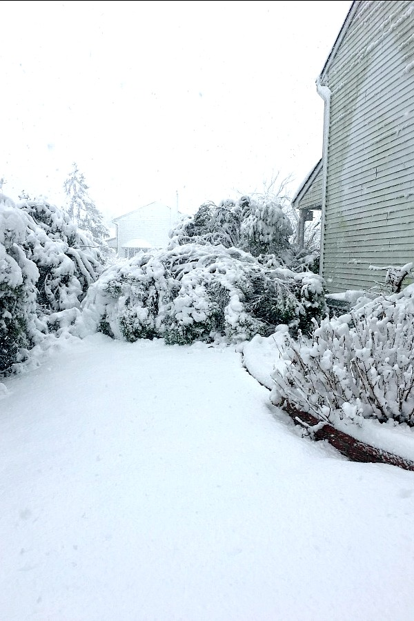 heavy march Nor'Easter crushes evergreen bushes