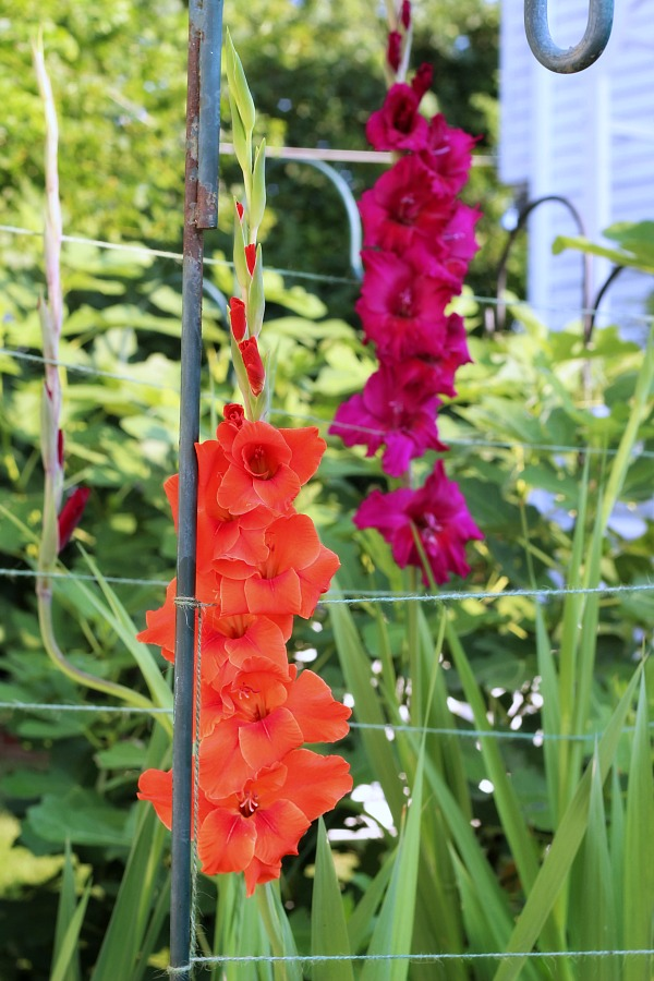 Raised Bed Gardening Tips for enjoyable and productive kitchen herbs, flower and vegetable growing in a small space. Fun and rewarding experience for kids too. Showing gladiolus flowering.
