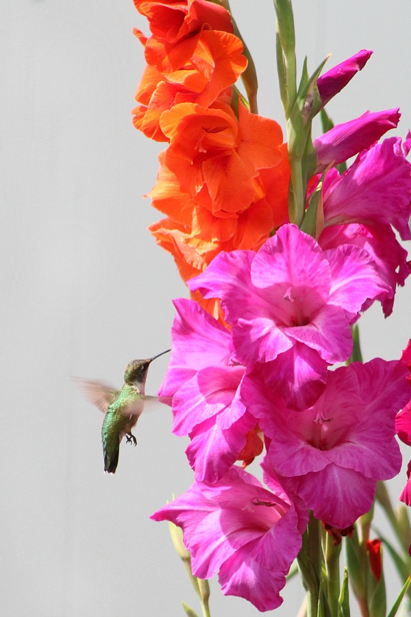 Planting bulbs produced gorgeous Gladiolus in the garden and their bright colors attracted hummingbirds. Lovely combination of hummingbirds and gladiolus.